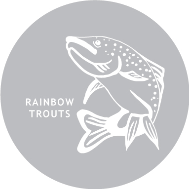 Rainbow-Trouts
